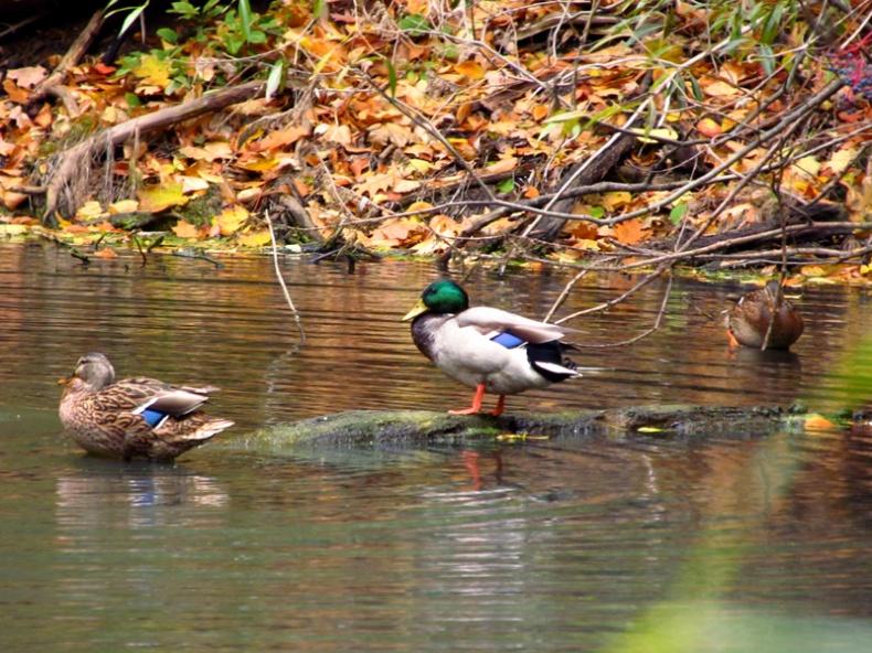 Mallard ducks in the beltline pond near Mud Creek  Females are brown with a blue or purple bar on their wings  Males are brown and white with a metallic green head