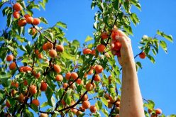 Apricots-On-A-Tree