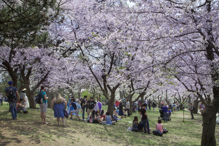 Crowd of cherry blossom enthusiasts