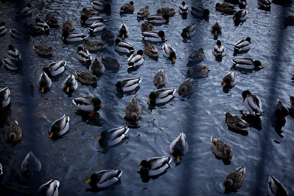 Ducks-in-pond