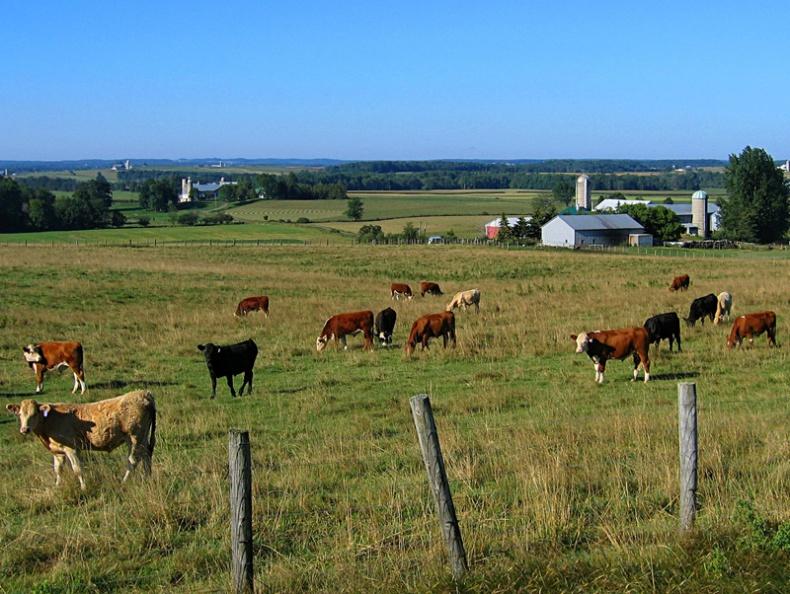 Grazing cows by Alex Thomson