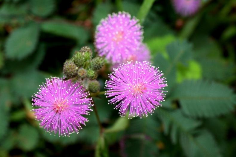 Sensitive Plant by Thomas Brown