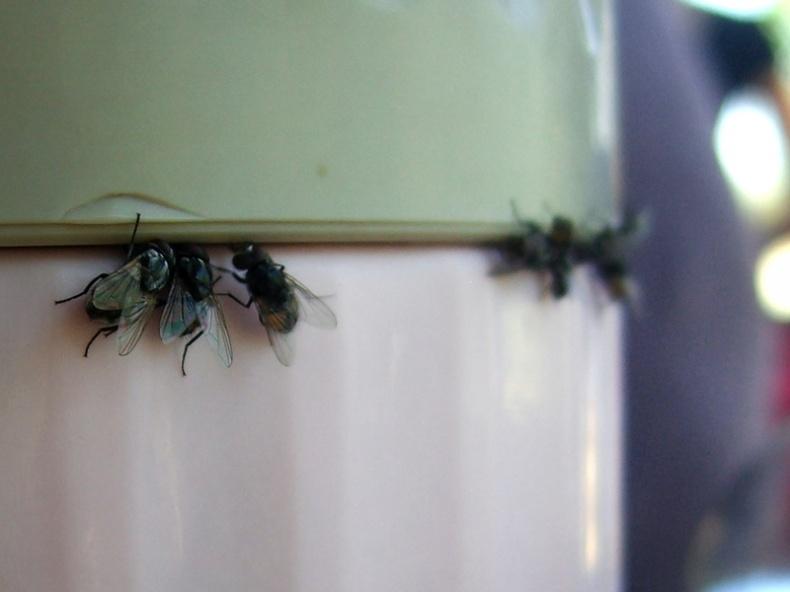 Flies Loving Food by Alpha