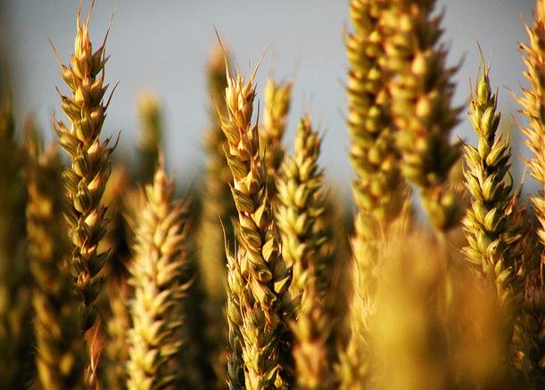Grain by Frapestaartje