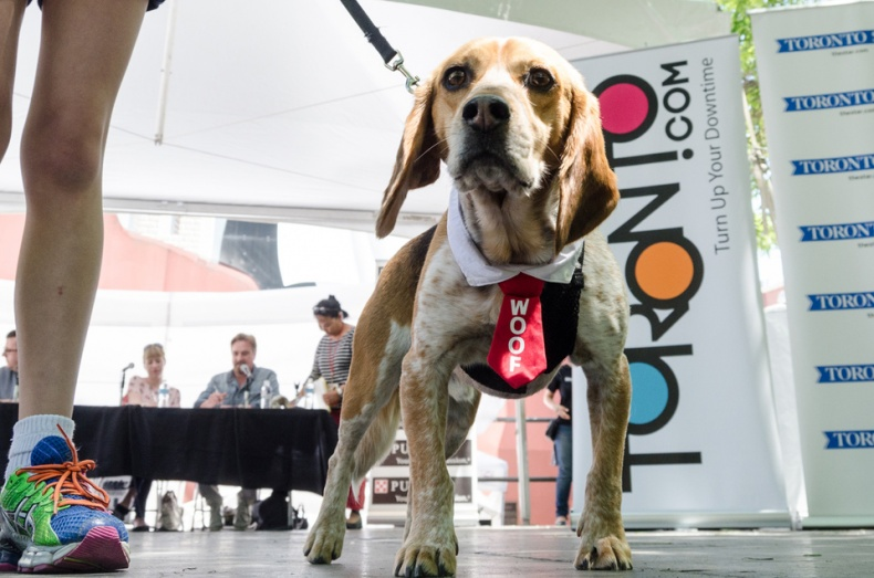 Beagle dressed up for Woofstock