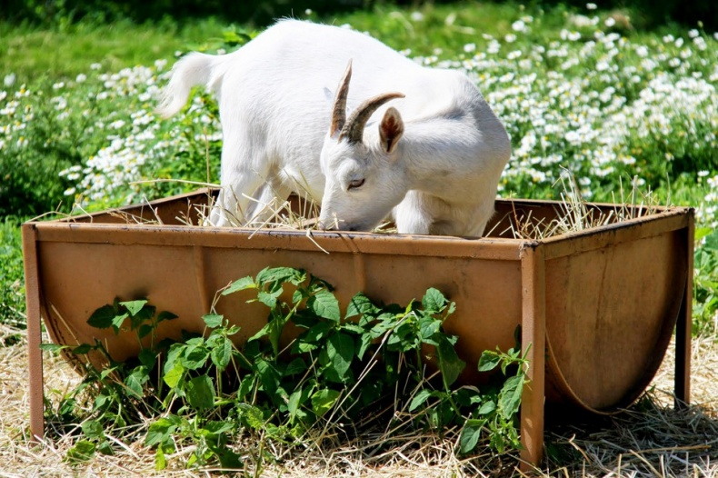 White Goat at Andrews Scenic Acres Farm