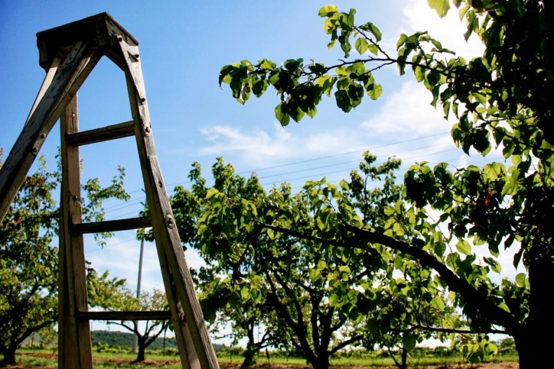 A Ladder In The Orchard