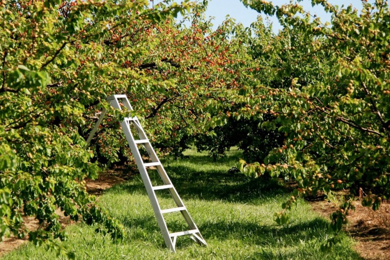 Cherry Avenue Farms Peach Orchard