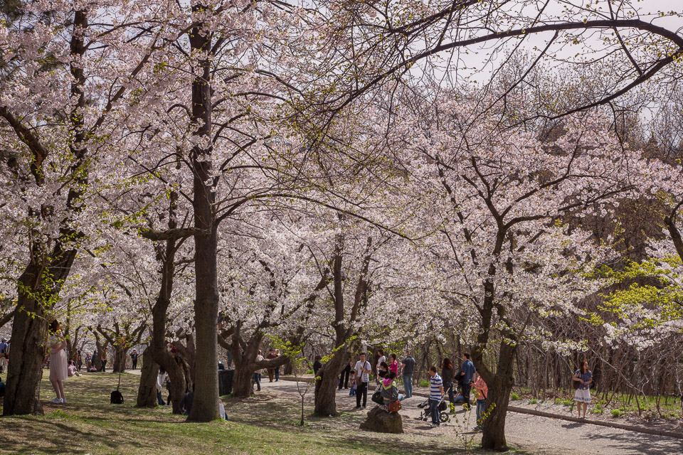 Cherry Blossom in High Park