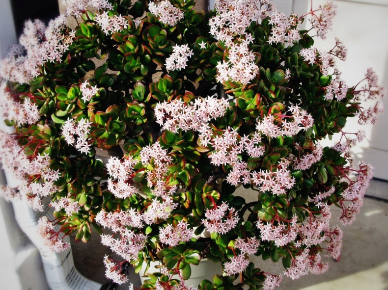 Happy Jade Plant in bloom by miheco