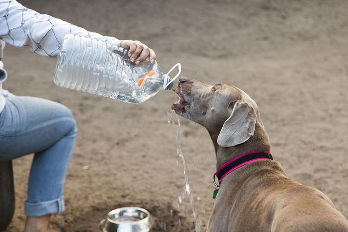 Dog drinking