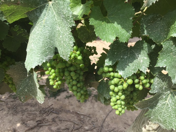 Grapes at Jackson Triggs.