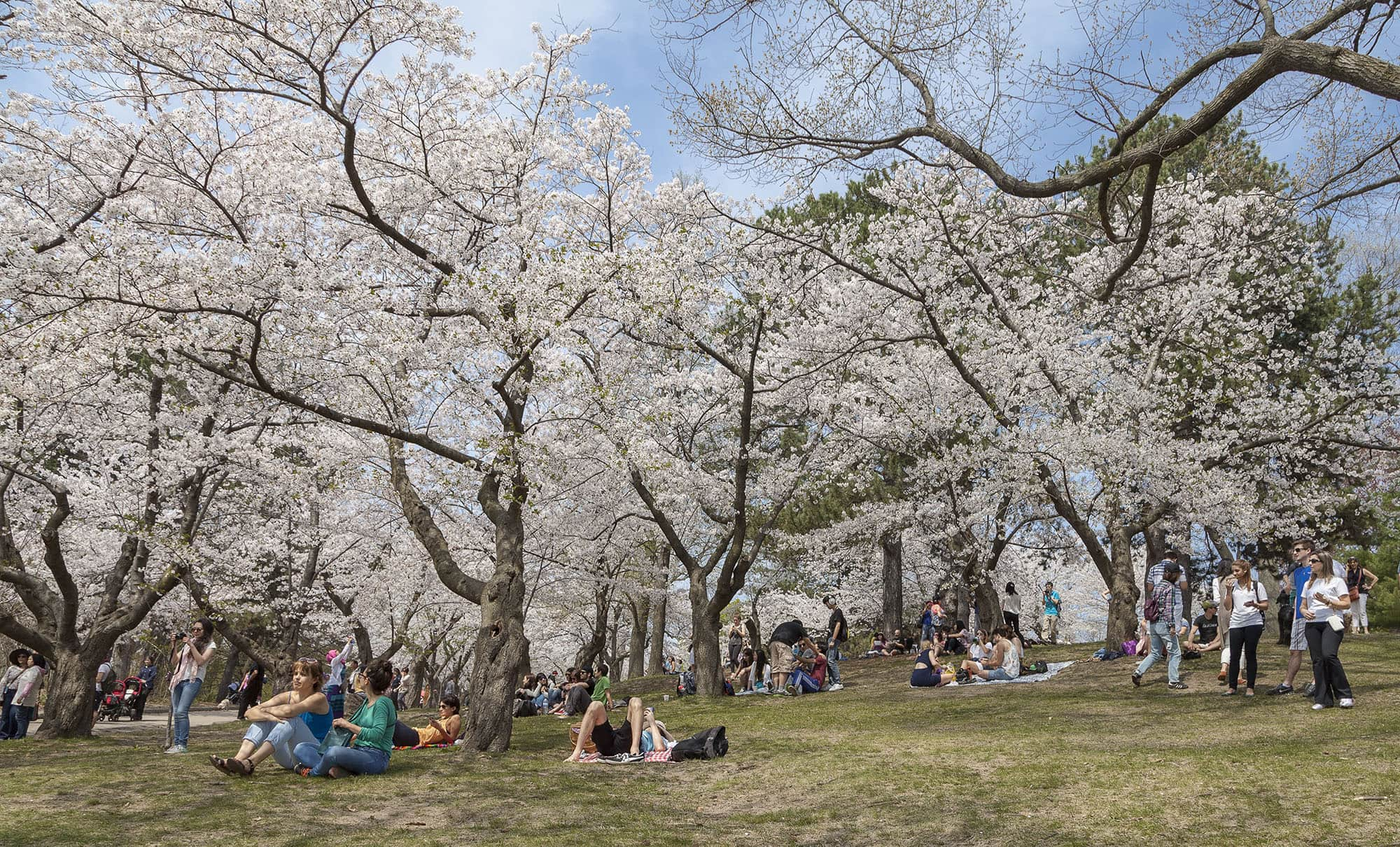 Image result for high park cherry blossoms